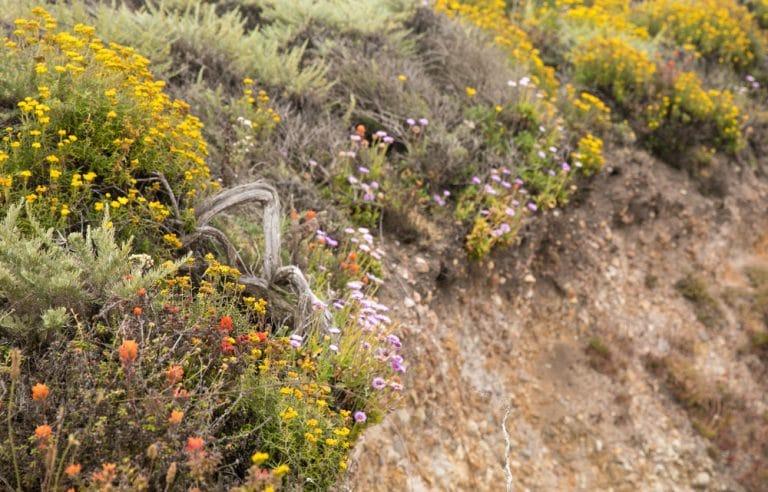 costal wild flowers