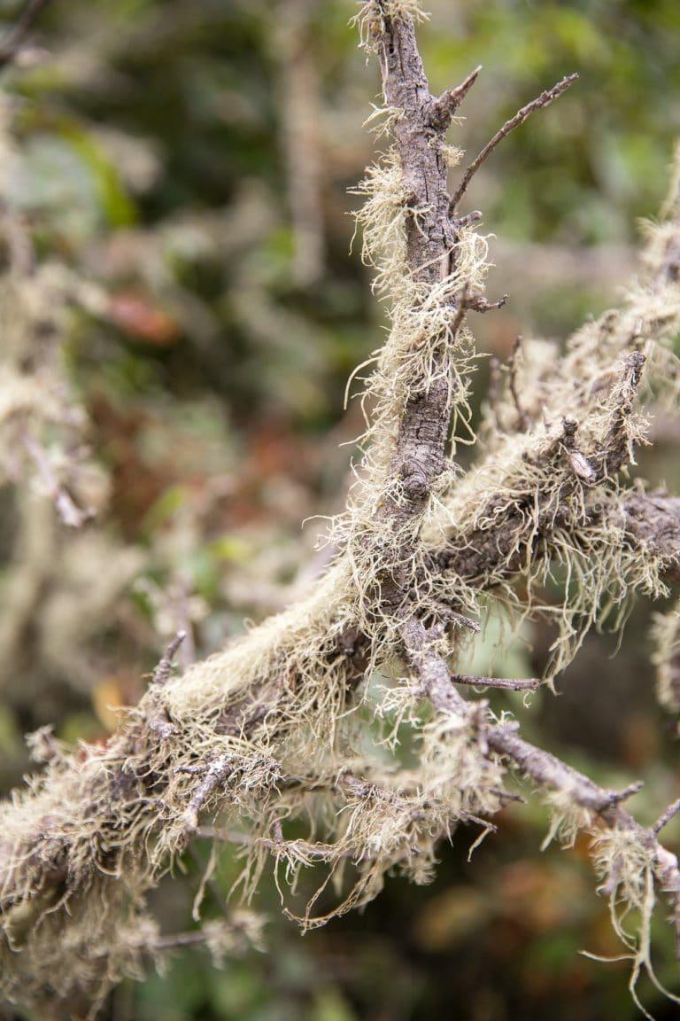 liken covered branch