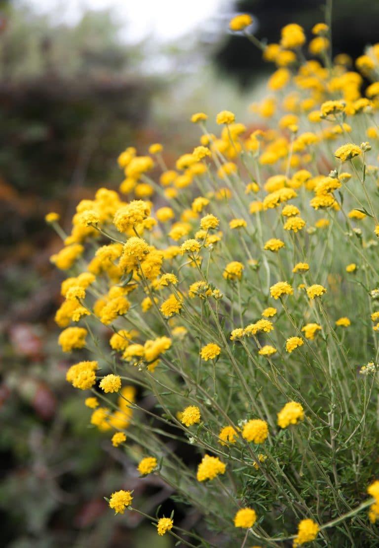yellow wild flower patch